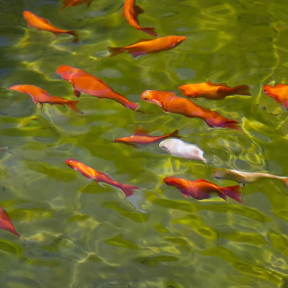 I pesci ideali per un laghetto da giardino biopiscine for Piscine laghetto per pesci