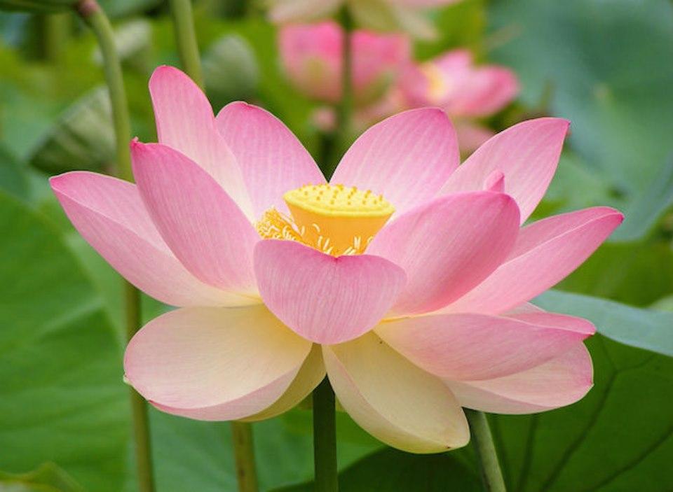 Il Fiore Di Loto Bello Da Vedere E Buono Da Mangiare Biopiscine
